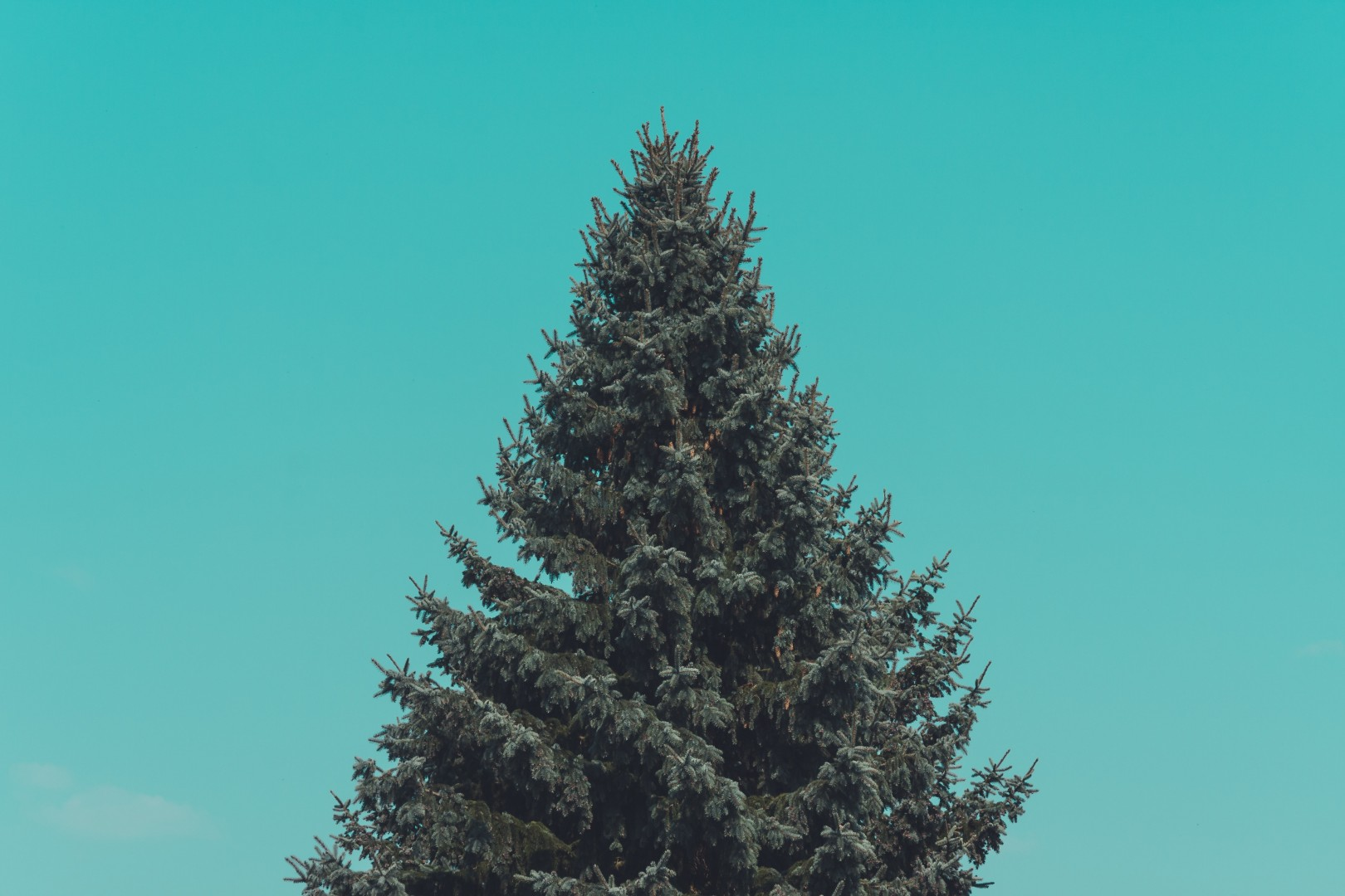 blank evergreen tree
