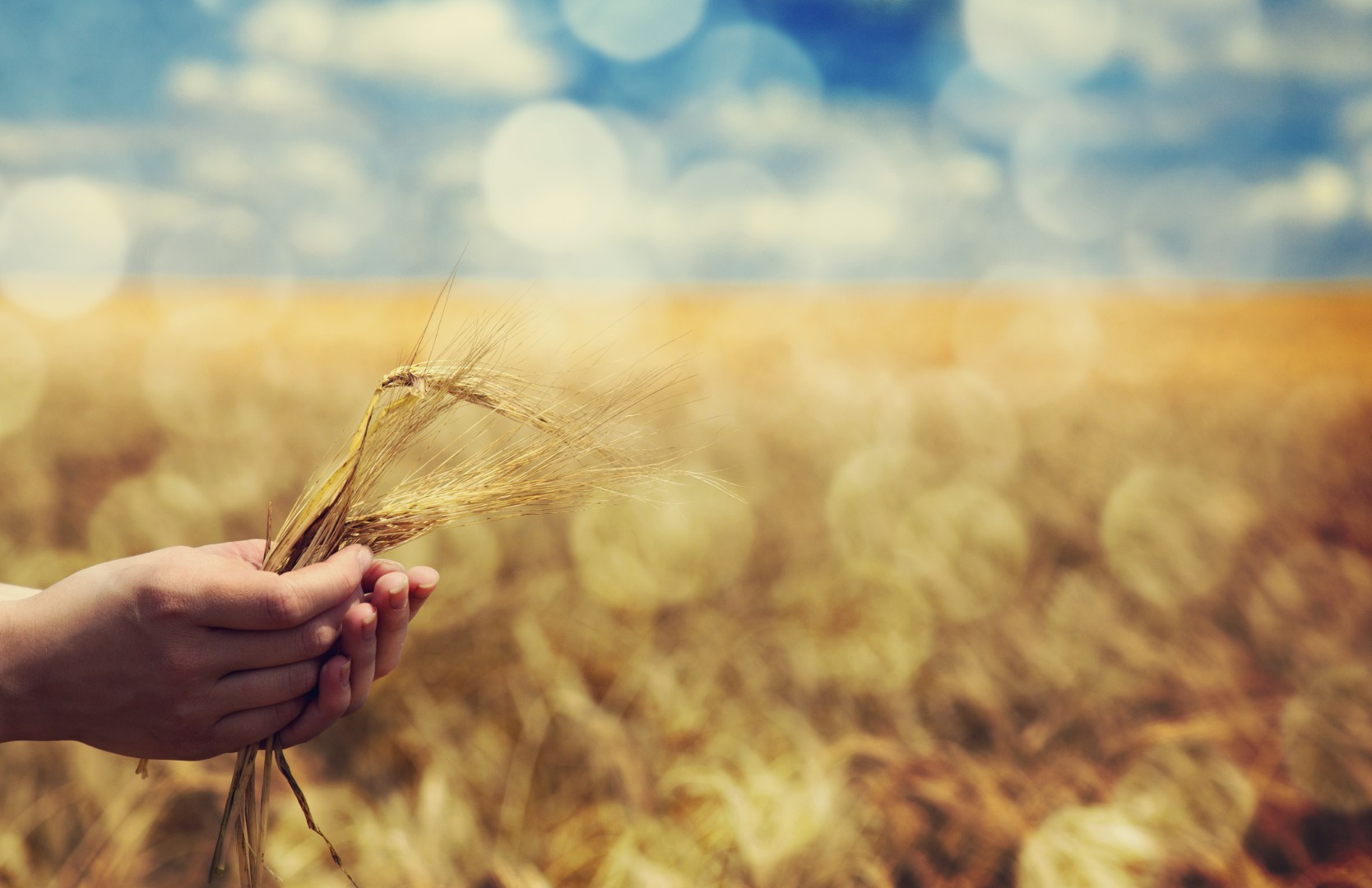 hand holding wheat in field